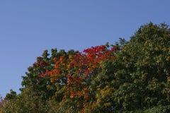 Hojas rojas verdes y brillantes talladas en el sol fotos de archivo