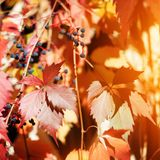 Hojas rojas y amarillas brillantes de la uva en la cerca de madera blanca de la rejilla del enrejado, follaje de oro de la planta imágenes de archivo libres de regalías