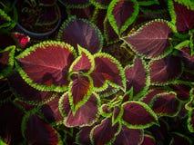 Hojas rojas y verdes de la visión superior de la planta imágenes de archivo libres de regalías