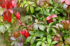 Hojas rojas y verdes del parthenocissus imágenes de archivo libres de regalías