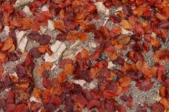 Hojas rojo marrón en la trayectoria de bosque Foto de archivo