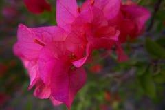 Hojas rosadas 2 de la buganvilla de 2 foto de archivo