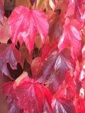 Hojas rosadas de la caída foto de archivo