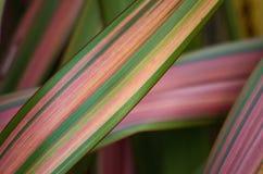 Hojas rosadas y verdes del cordyline Fotografía de archivo