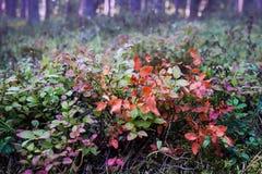 Hojas salvajes de los arándanos en el bosque Fotografía de archivo