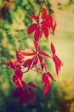 Hojas salvajes del rojo de la uva Fotografía de archivo
