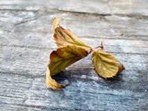 Hojas secadas del jardín de la zarzamora en el tablero fotos de archivo libres de regalías