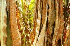 Hojas secadas del tabaco Imagen de archivo