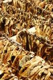Hojas secadas del tabaco Foto de archivo