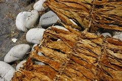 Hojas secadas del tabaco en una orilla Imagen de archivo