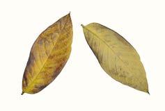 Hojas secas amarillas con texturas aisladas en el fondo blanco Fotos de archivo libres de regalías
