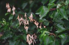 Hojas secas amarillas del albaricoque salvaje contra la perspectiva de ramas jugosas verdes Ponga en contraste el fondo, foco sua imagen de archivo