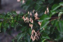 Hojas secas amarillas del albaricoque salvaje contra la perspectiva de ramas jugosas verdes Ponga en contraste el fondo, foco sua fotos de archivo