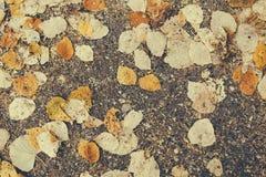 Hojas secas caidas del abedul del otoño Fotografía de archivo