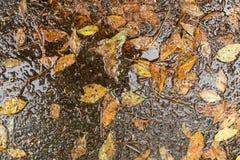 Hojas secas caidas después de una tormenta de la lluvia Foto de archivo libre de regalías