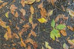 Hojas secas caidas después de una tormenta de la lluvia Fotografía de archivo libre de regalías