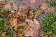 Hojas secas caidas en un charco en la hierba Foto de archivo