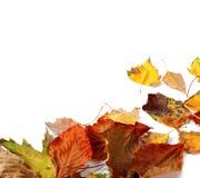 Hojas secas coloreadas multi del otoño Imagen de archivo libre de regalías