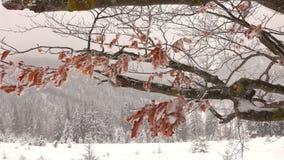 Hojas secas congeladas de la haya en una rama de árbol almacen de video