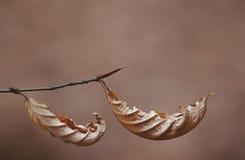 Hojas secas de la ejecución del árbol de la playa en cierre de la rama para arriba Fotografía de archivo