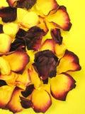 Hojas secas de la rosa Foto de archivo libre de regalías