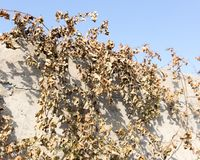 Hojas secas de la uva contra el cielo azul Imágenes de archivo libres de regalías