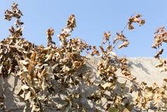 Hojas secas de la uva contra el cielo azul Fotografía de archivo libre de regalías