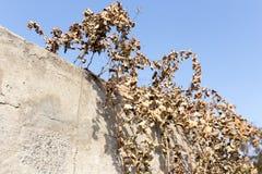 Hojas secas de la uva contra el cielo azul Imagenes de archivo