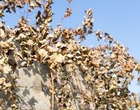 Hojas secas de la uva contra el cielo azul Fotos de archivo libres de regalías