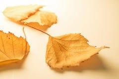 Hojas secas del amarillo Imágenes de archivo libres de regalías