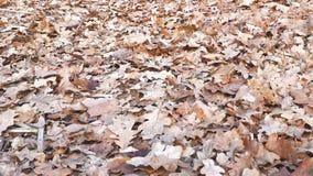 Hojas secas del roble en la tierra almacen de metraje de vídeo