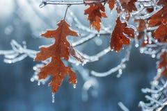 Hojas secas del roble rojo cubiertas con hielo en invierno imagenes de archivo