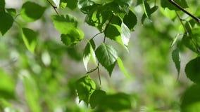 Hojas soleadas del verde almacen de metraje de vídeo
