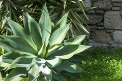 Hojas suculentas gruesas verdes del agavo Agavo Djengola Rosetón del primer carnudo de las hojas en los rayos del sol brillante c foto de archivo libre de regalías