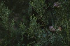 Hojas textura y fondo del árbol de Cypress Ciérrese encima de la vista de las hojas del verde del ciprés Fotos de archivo