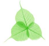 Hojas translúcidas del verde Fotografía de archivo