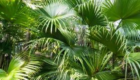 Hojas tropicales con las rayas verdes largas fotografía de archivo libre de regalías