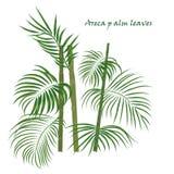 Hojas tropicales de la areca de la palma de la rama dibujo realista en estilo plano del color Aislado en el fondo blanco Imagenes de archivo