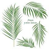 Hojas tropicales de la areca de la palma de la rama dibujo realista en estilo plano del color Aislado en el fondo blanco Imágenes de archivo libres de regalías