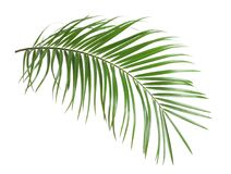 Hojas tropicales de la palmera del sagú aisladas Fotografía de archivo