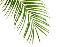 Hojas tropicales de la palmera del sagú aisladas Imagenes de archivo