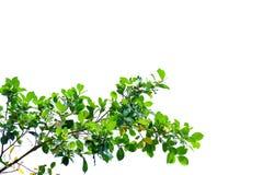 Hojas tropicales del árbol con las ramas en el fondo aislado blanco para el contexto verde del follaje fotos de archivo libres de regalías