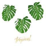 Hojas tropicales del monstera Sistema de elementos exóticos aislados del diseño de las hojas ilustración del vector