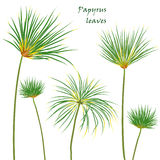 Hojas tropicales determinadas del papiro de la palma dibujo realista en estilo plano del color Aislado en el fondo blanco Foto de archivo libre de regalías