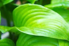 Hojas tropicales verdes grandes de la flor con las venas grandes textura de la hoja de la flor foto de archivo