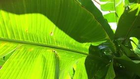Hojas tropicales, hojas verdes grandes República Dominicana almacen de video