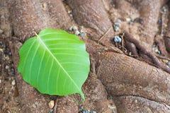 Hojas verde oscuro Fotografía de archivo