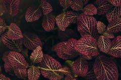 Hojas verde oscuro con los viens rojos Fotos de archivo libres de regalías