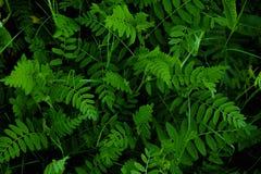 Hojas verde oscuro naturales para el fondo imagenes de archivo