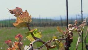 Hojas verde-rojas jovenes de uvas en viñedo en el día de primavera almacen de video